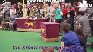 Westminster Yorkshire Terrier Show 2010 - Part 2