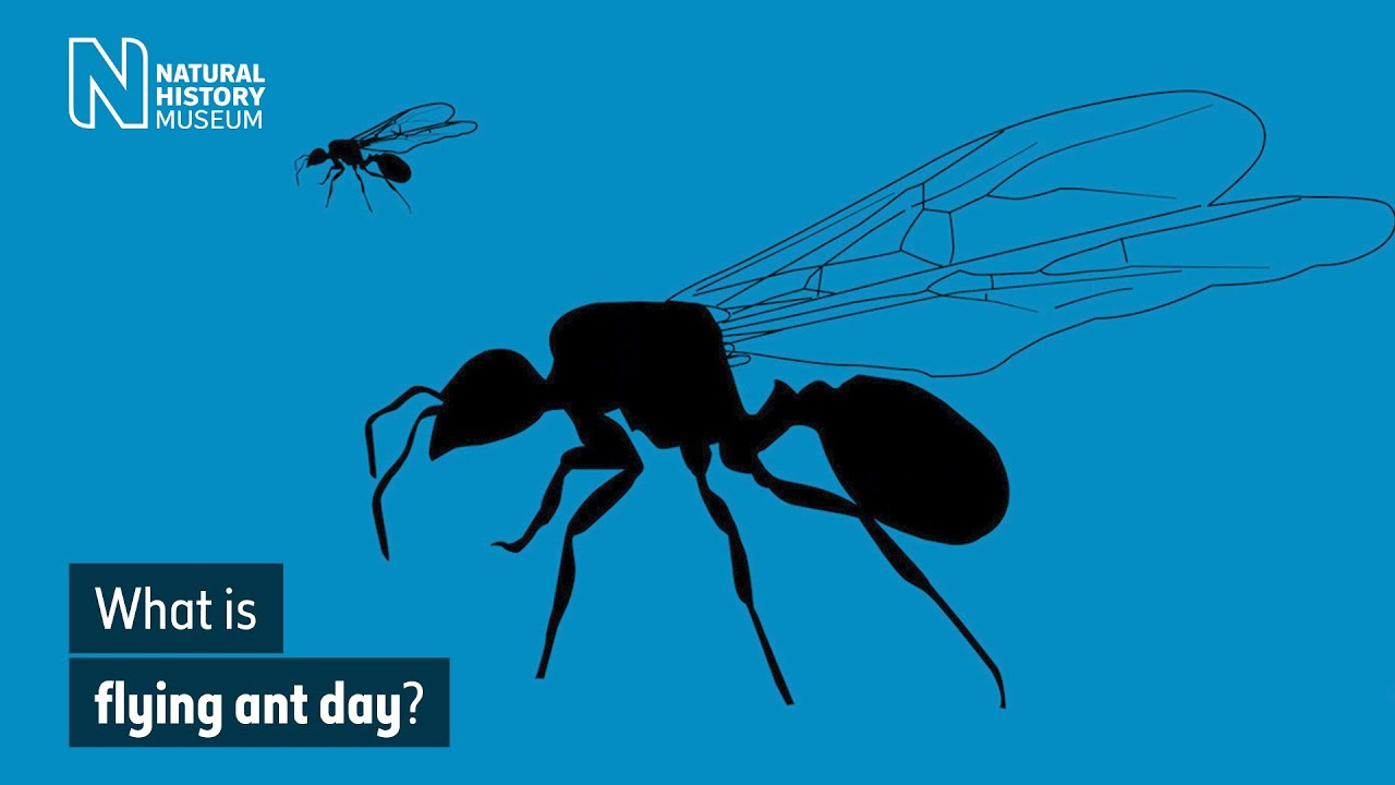 What Is Flying Ant Day Natural History Museum Youtube