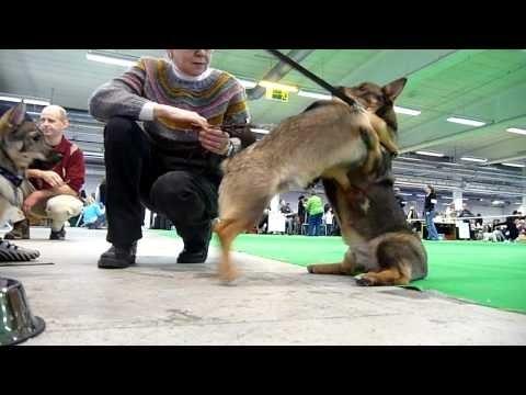 Swedish Vallhund 1:st exhibit
