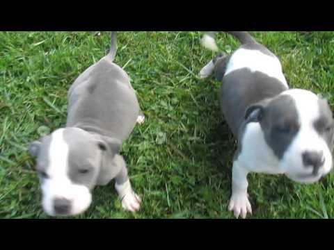 aurora blue pitbull puppy males