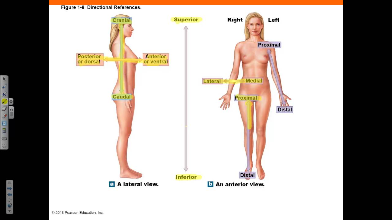 Chapter 1 Part 4 Body Sections Regions Positions Cavities Youtube