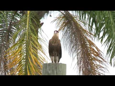 Crested Caracaras of Palm Beach, Florida