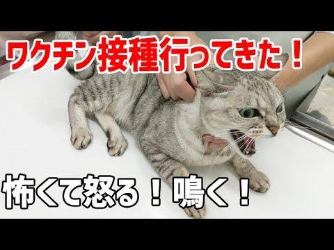 猫2匹一緒にワクチン接種に行ってきました…怖くて鳴く!