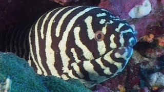 Moray Eels - Reef Life of the Andaman - Part 7