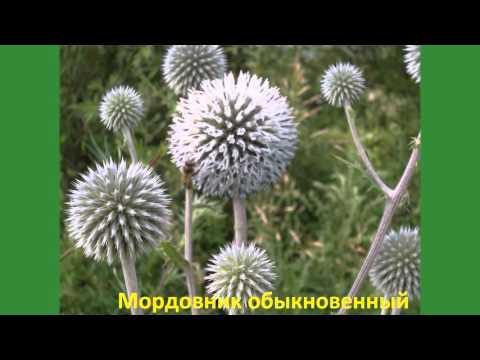 Цветы полевые с названиями Часть 1