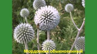 видео Дикие съедобные растения: луговые и полевые