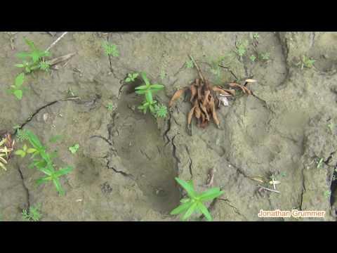 [PUBLIC LAND 2]  3 Bigfoot Trackways