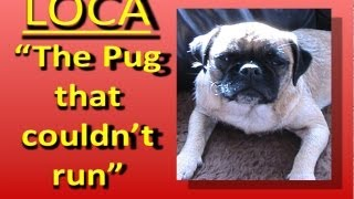 Loca The Pug Singing......'the Pug That Couldn't Run'