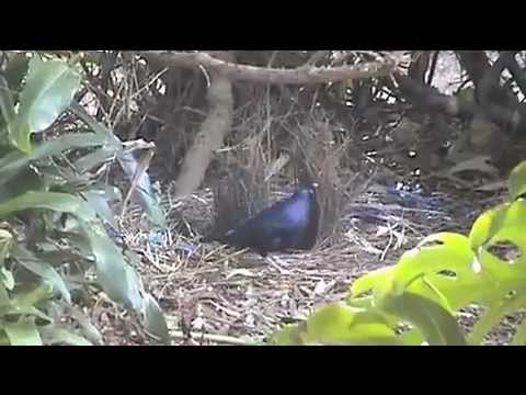 AUSTRALIAN SATIN BOWER BIRD BOWER BUILDING