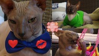 Cat RAMSES Time Lapse✔ 2 Years in 2 Minutes | Best Moments | Don Sphynx