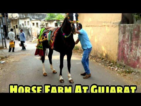 Sindhi Horse for Sale At Gujarat | Horses For Sale At 5 Star Farm | Sindhi Goda for sale At Gujarat