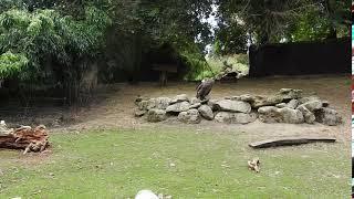 クロハゲワシは昔は家畜を襲うと思われて大量に狩られ数が激減 腐肉を食...