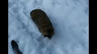 Енот едва не отобрал лыжи у лыжника в Рязанской области