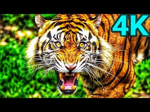4k Video Tiger Sony Led Tv 4k Ultra Hd Demo Another World 4k Video Technology Youtube