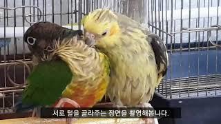 [앵무파파] 서로 다른 앵무새들간 털골라주기, 이사벨펄…
