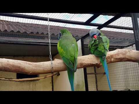 Китайский кольчатый попугай Lord Derby's parakeet