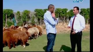 علاء الشربينى من داخل احدى المزراع يقدم نصيحته للجمهور قبل شراء أضحية العيد
