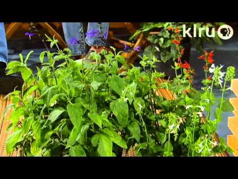 Shade Plants Mae Sanchez Central Texas Gardener Youtube