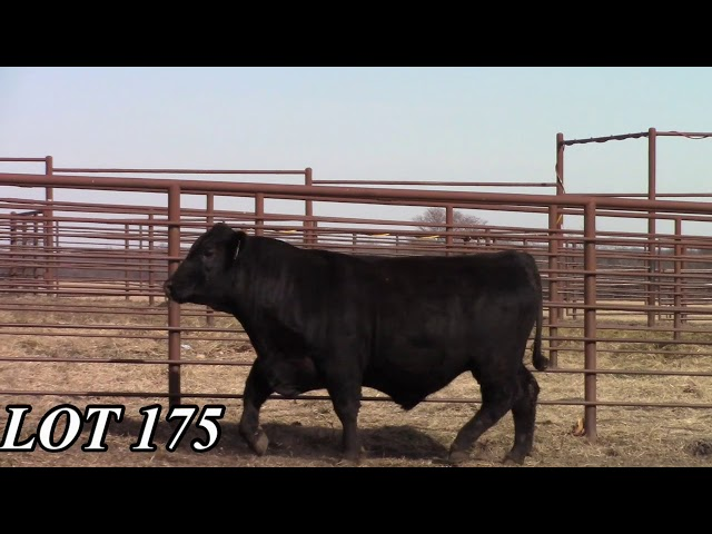 Mead Angus Farms Lot 175