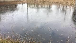凍ったお池にどんくり投げたら、いい音がしました!