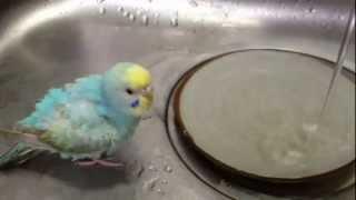 セキセイインコ・そらちゃん(生後3ヶ月)の初・水浴びです。 いつも皿...