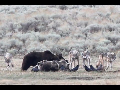 Yellowstone Dinner Party - grizzlies and wolves