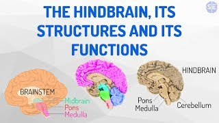 [Psychology] The Nervous System #04: The Hindbrain, Its Structures And Its Functions
