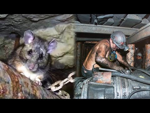 Miner always fed the wild rat. He could not imagine that one day she would save his life