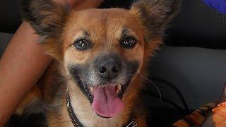 Видео приколы - поющая собака