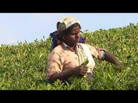 News 1st : Ceylon Tea : Does It have a future? (Episode-05)