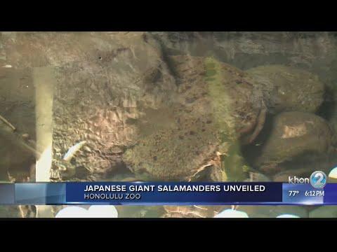 Giant salamanders move into new home at Honolulu Zoo