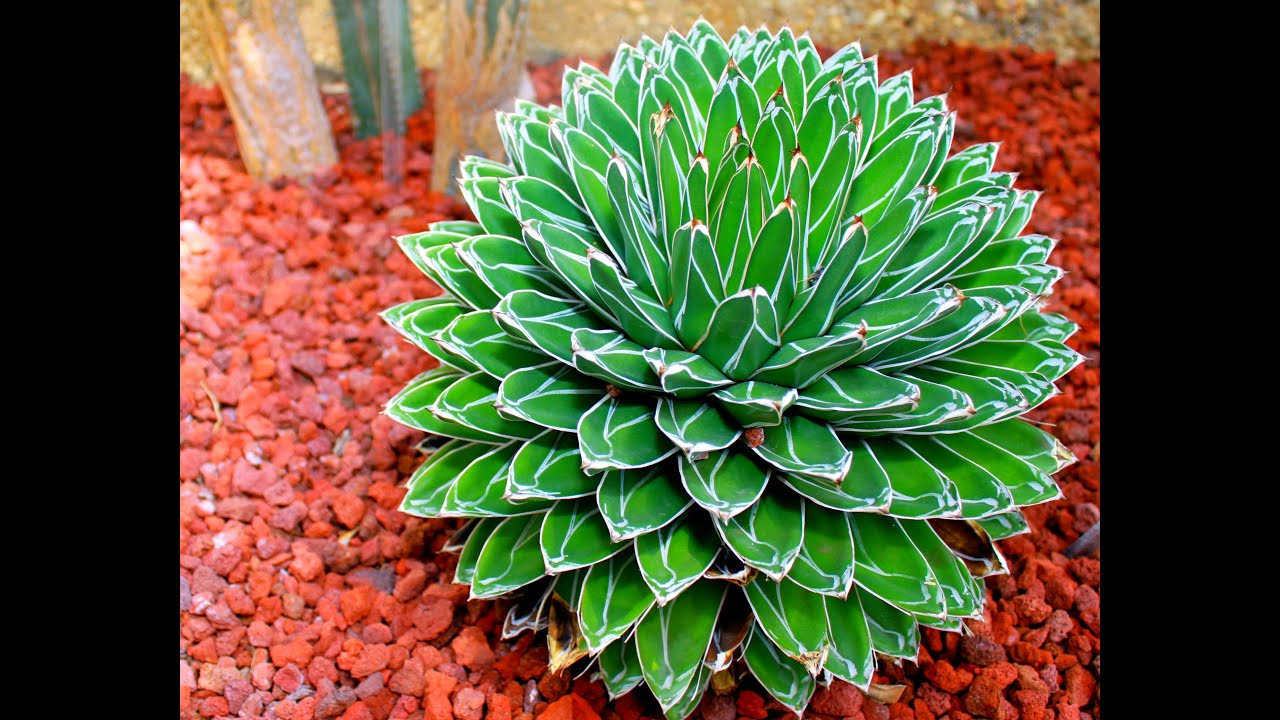 15 gorgeous agave plants youtube for Piante grasse ornamentali