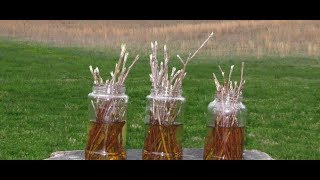 how to grow an entire apple orchard from existing tree cuttings