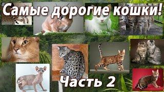 Самые дорогие кошки мира! часть 2