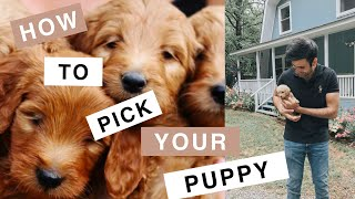 Theo the Mini Goldendoodle (F1B) How to Choose your Puppy
