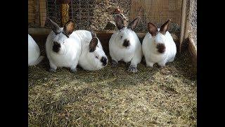 Калифорнийские кролики для промышленной фермы