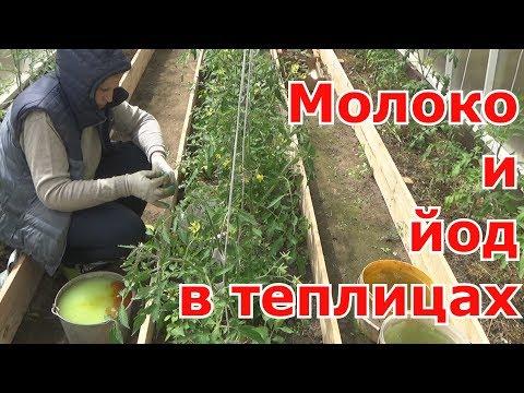 Обработка томатов, перцев и баклажанов МОЛОКОМ с ЙОДОМ в теплицах. Средство от фитофторы