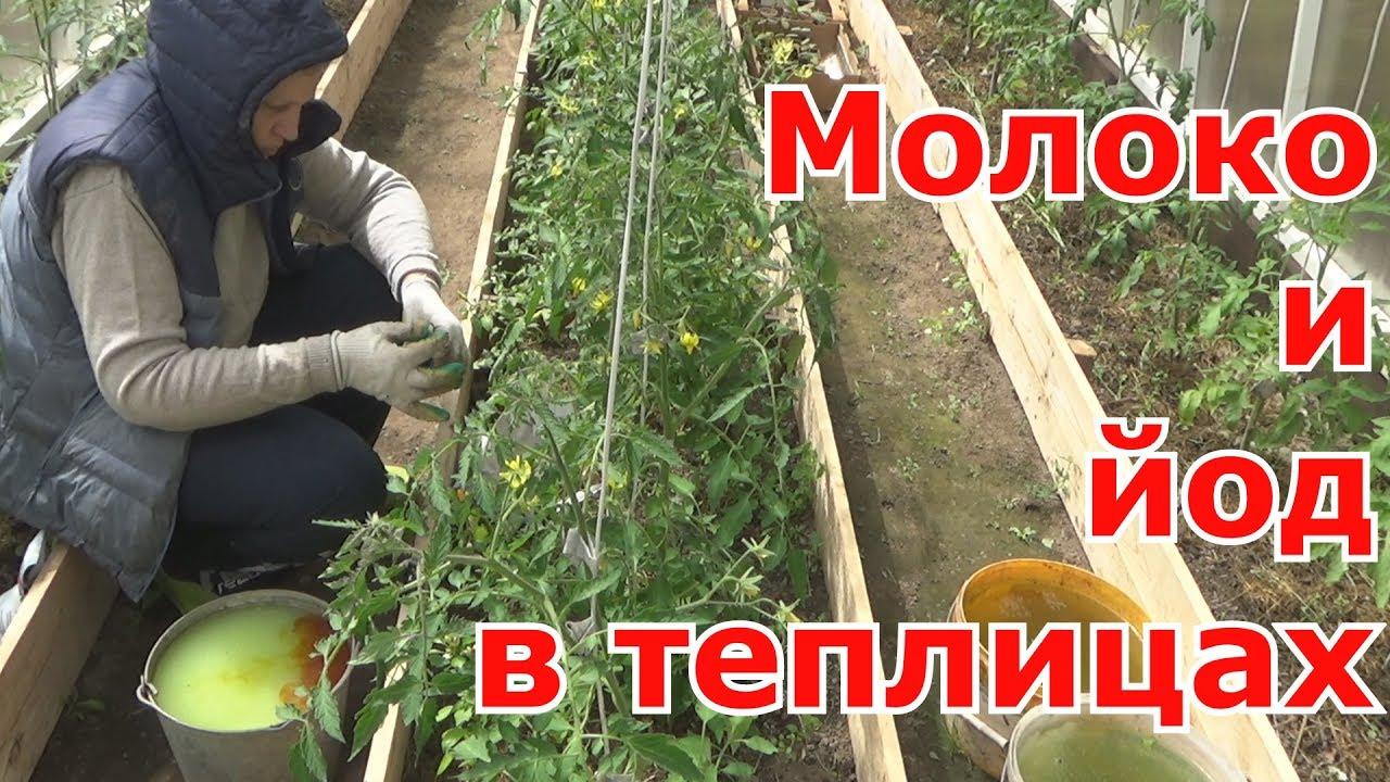 Обработка помидоров йодом как средство борьбы с фитофторой