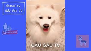 Tập 4: Chó Samoyed hài hước và đáng yêu | Funny and Cute Samoyed Compilation #4