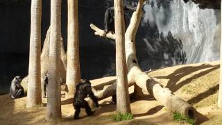 Chimps going crazy and fighting at LA zoo 1/17/16
