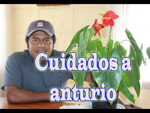 El jardinero en casa anturios doovi for Anturio cuidados