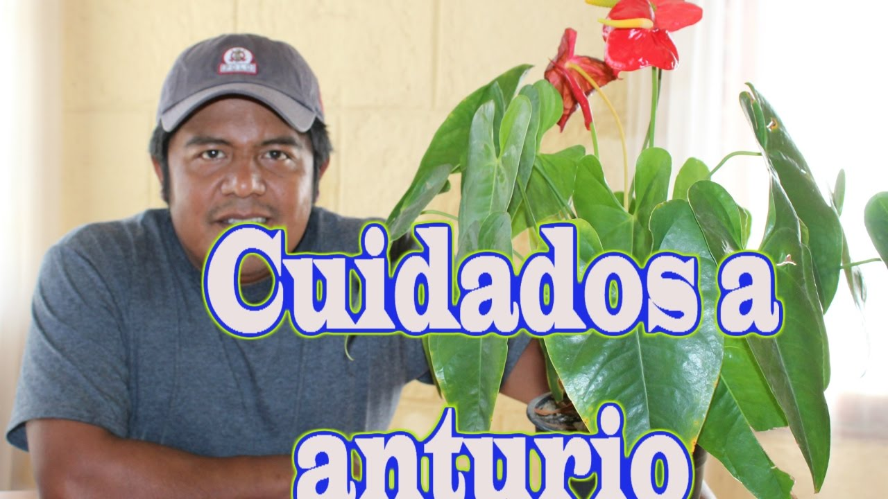 Cuidados a anturio youtube for Anturio cuidados