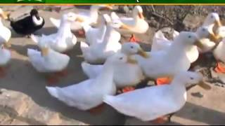 Know how to earn profit from fish cum duck farming