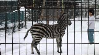 雪の円山動物園。 グランドシマウマの飛馬(ひゅうま)は 屋内に入れよ...