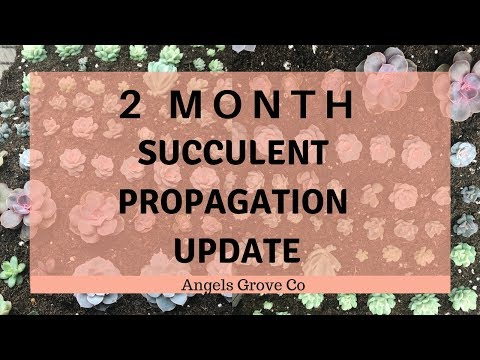 Succulent Propagation Update Two Month // Angel's Grove