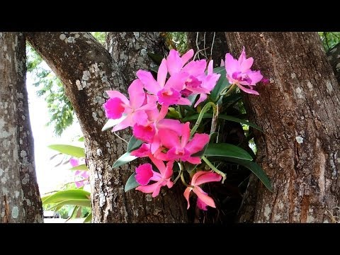 Orquídeas em árvores, Orchids on trees, 木に蘭,