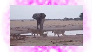 アフリカゾウがお通りです。水辺にいたライオンの群れも退散。成獣のア...