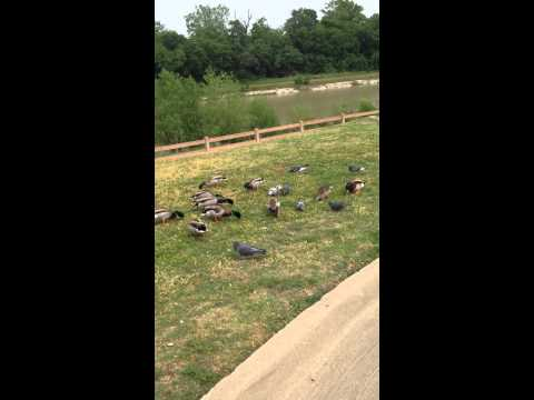Feeding geese and ducks by Breckinridge Park in Richardson, TX 1 of 3