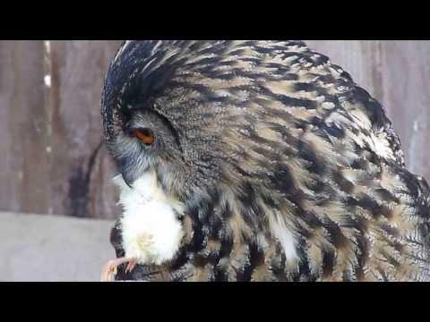 Uhu Fütterung, European Eagle-Owl feed, HD thumbnail