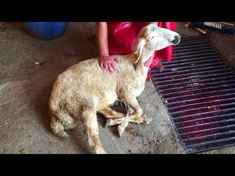 Adaklık Kurban Ankara İrtibat Tel:0533 243 98 25 Alkanlar Hayvancılık